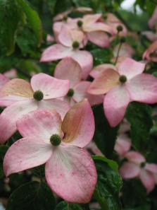 Almost gone by and still beautiful - Dogwood are a favorite.